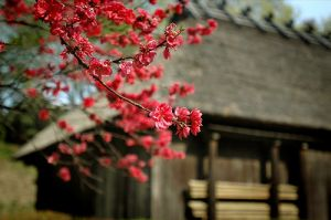 Red cherry blossom Japan.jpg